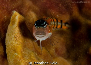 Blenny by Jonathan Sala